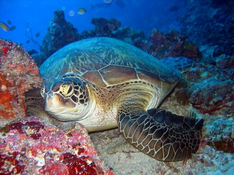 http://www.travelandtourismnews.com/wp-content/uploads/2010/06/maldives-resorts-Green_turtle.jpg